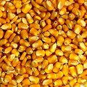 African Tall Yellow Maize
