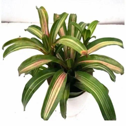 Neoregelia Zoe Indoor Plant