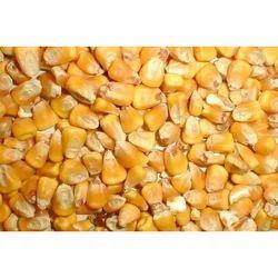 Maize Corn Seed