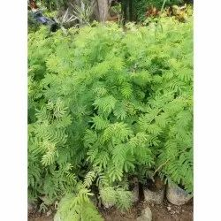 Decoration Well Watered Boston Fern Plant