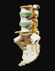 Lumbar Vertebrae with Sacrum Models