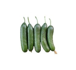 Rijkzwaan Multistar Cucumber Seeds for Agriculture