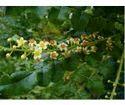 Boswellia Leaves