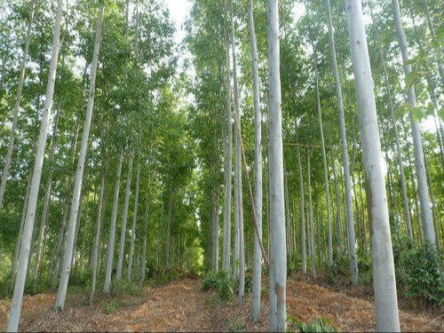 Eucalyptus Tree Plantation Project Report Consultancy