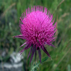 Mi Nature Silymarin / Milk Thistle Extract, Packaging Type: Packet