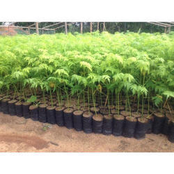 Neem Plants For Plantation
