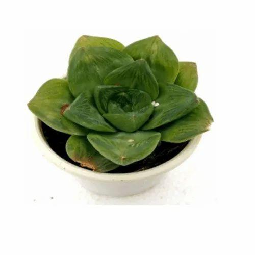 Haworthia Cuspidata Catevala Cuspidata Succulent Plant