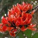Butea Frondosa