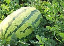 A Grade Watermelons fresh fruit, Full Benefit