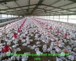Girder Poultry Shed