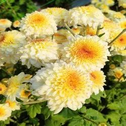 Era Pink White Chrysanthemum Plant