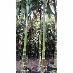 Supari Palm Plant