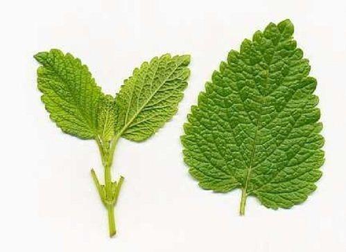 Lemon Balm Extracts Melissa Extract, Prakritik Herbal Ark ...