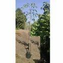 Green Tabebuia Rosea Plant For Garden