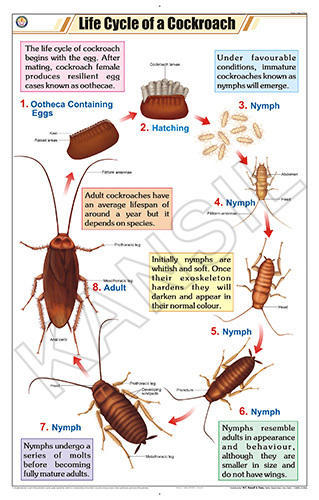 Zoology Chart  II  Life    Cycle    of Cockroach For Zoology