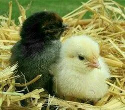 1 To1 Multicolor Country chicks