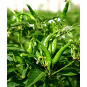 Green Chilli Seeds INDUS-33