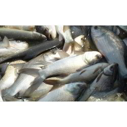Catla Fish, for Food Purpose