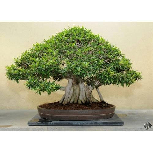 ficus ginseng bonsai plant at rs 1100 piece bonsai plants id 16208174248. Black Bedroom Furniture Sets. Home Design Ideas