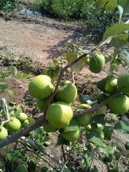 Teak Plantation Success Story