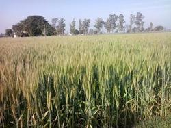 HD 3086 Wheat Seeds, Pack Size: 40 Kg