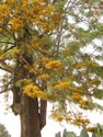 Grevillea Robusta Plants