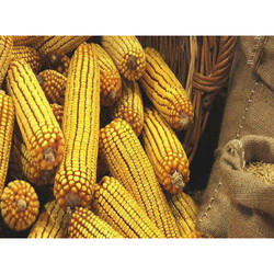 Yellow Maize, Packaging Size: 25, 50 Kg