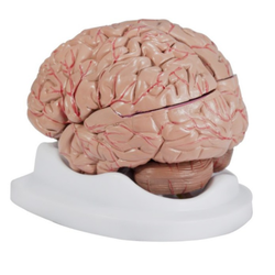 Brain With Arteries Anatomy Models