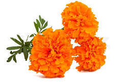Fresh Marigold Flowers Loose