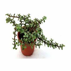 Money Tree Portulacaceae Plant Succulent Elephant Bush Jade