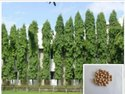 Polyalthia Longifolia Plants