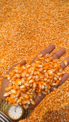 Yellow Maize Feeding, Packaging Type: PP Bags