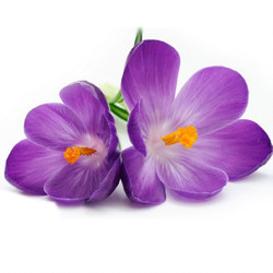 Violet Leaf Absolute Oil