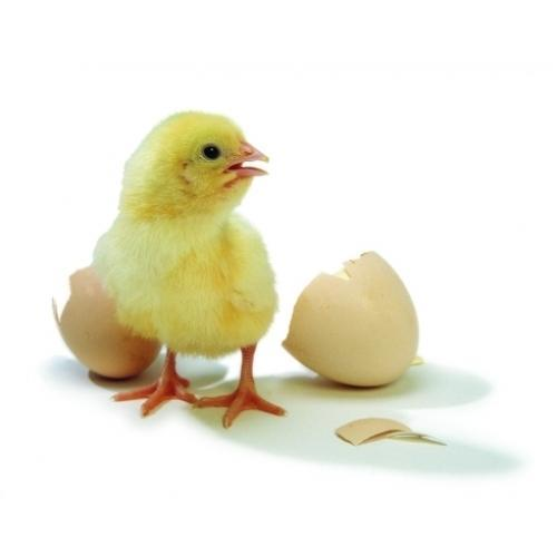farm baby chicks at rs 25 unit hadpsar pune id 15759890262