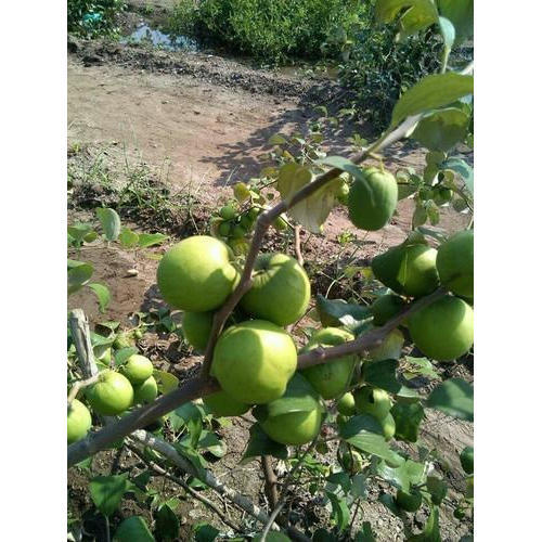 Green Le Ber Plant At Rs 15 Piece