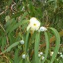 Organic Eucalyptus Globulus 60% Oil