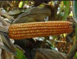 Aditya Hybrid Corn