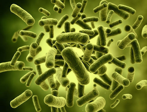 Image result for Lactobacillus