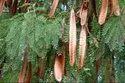 Leucaena Leucocephala(subabul) Seeds