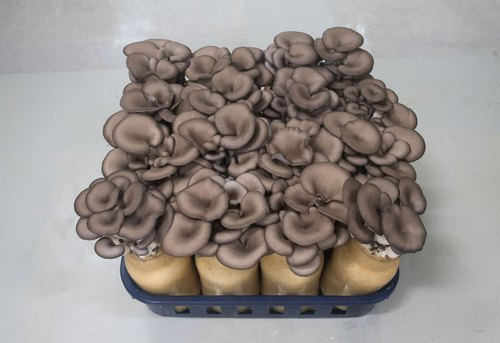 Annric Natural Black Oyster Mushroom Spawn