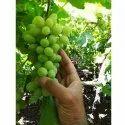 Fresh Healthy Grapes