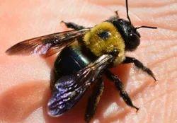 Carpenter Bees Control Services