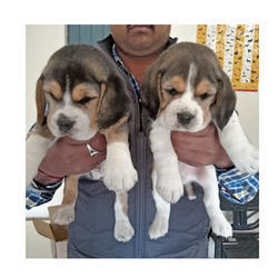Best Two Beagle Adorable Dog - beagle-puppies-250x250  2018_383466  .jpg