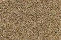 Rye Grass Seeds