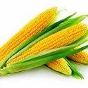 Maize-Yellow Corn