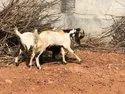 Kota Goat