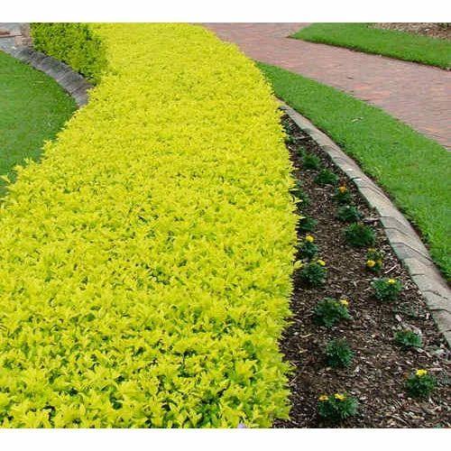 golden duranta plant  Golden Duranta Plant, Outdoor Plant - Shubhavi Business Solutions ...