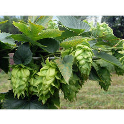 Hops Absolute Oil