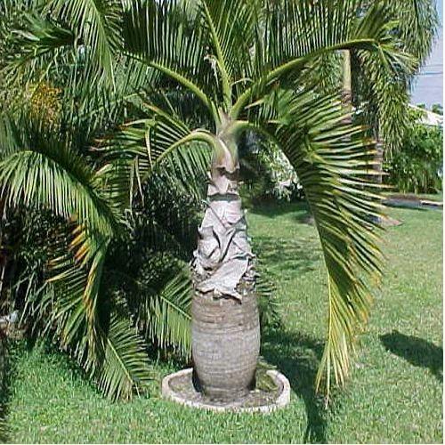 Nursery Palm Plant Sai