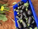 Brinjal Seeds